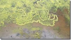marsh detail algae