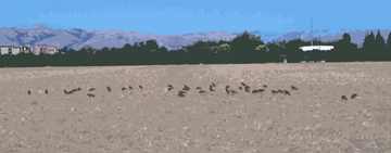 field of crows CROPPED CUTOUT